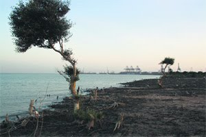 Remains of mangroves at Adani's Indian coal port