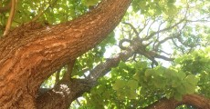 A call for support to Save Castlemaine CBD's Trees